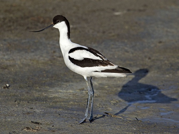 Avocet. Photo: By Andreas Trepte - Own work, CC BY-SA 2.5, https://commons.wikimedia.org/w/index.php?curid=10610115